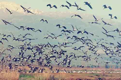 Vintage-style-photo-of-pastoral-spring-landscape-of-hula-valley-reserve-and-migrating-cranes