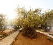gethsemane-famous-historic-place-in-jerusalem-Mazada Tours
